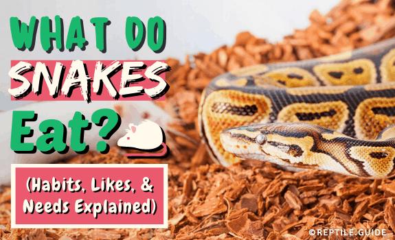 What Do Snakes Eat (Habits, Likes, & Needs Explained)