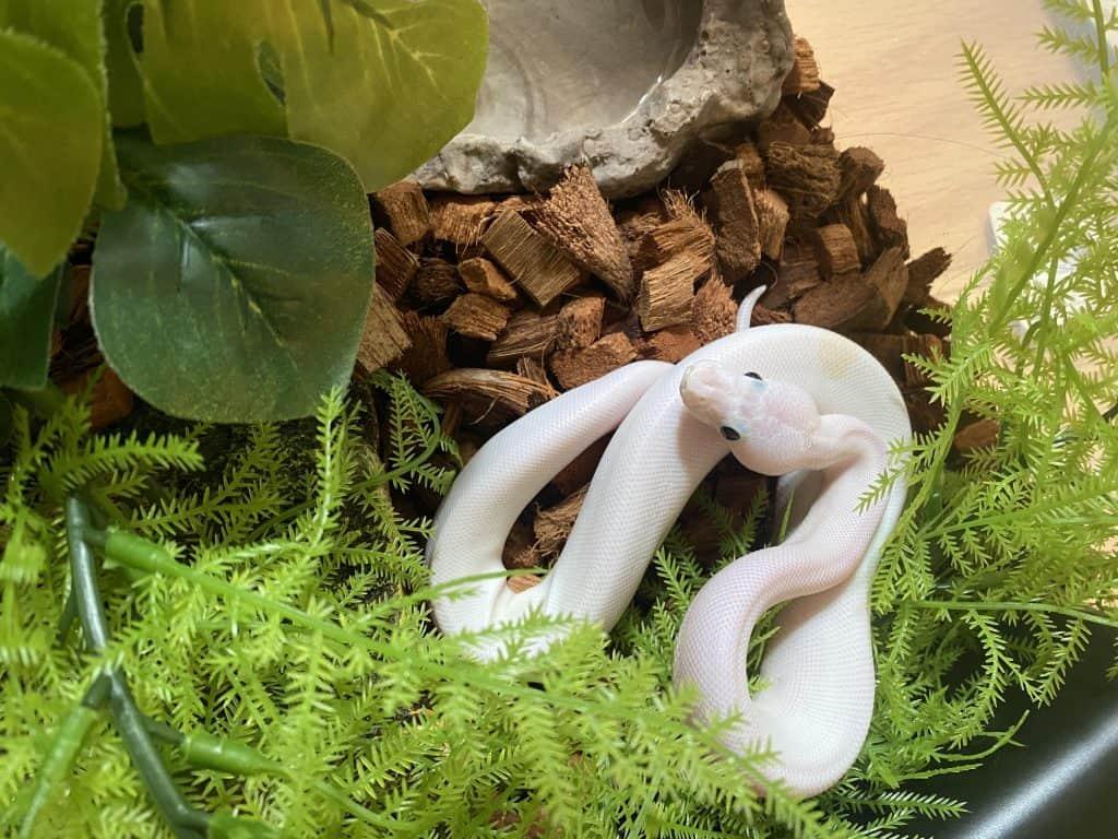 White Super Fire Ball Python
