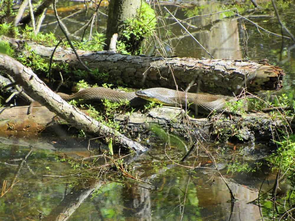 Alabama black water snake on log