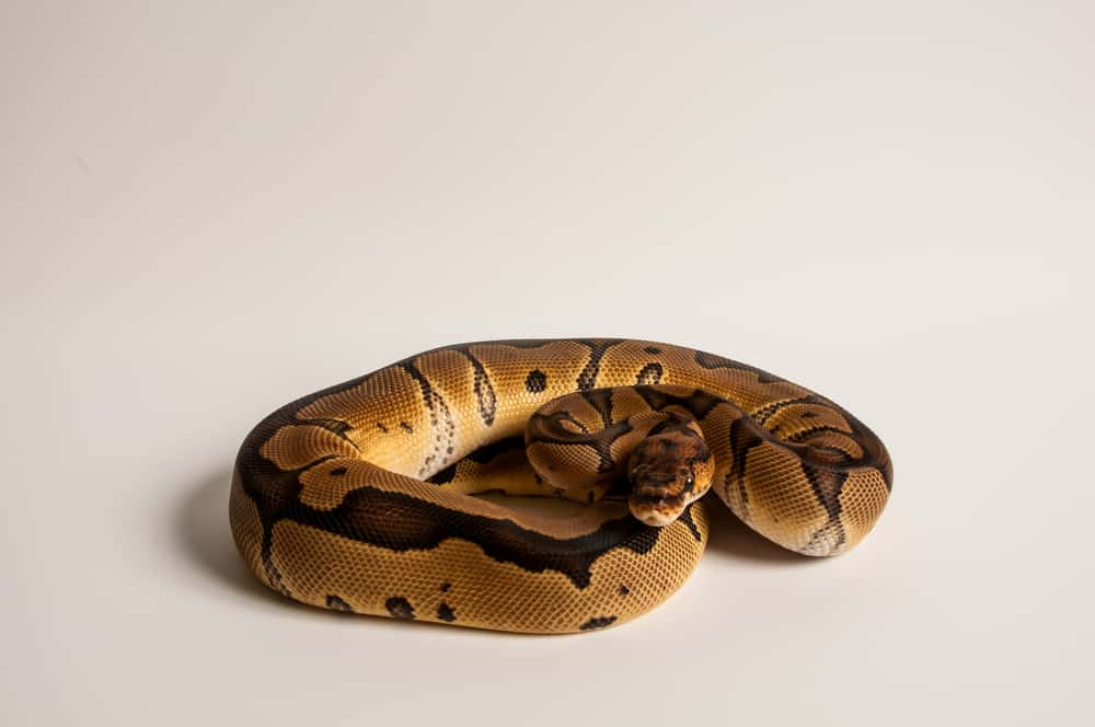 Clown Ball Python with wide dorsal stripe on white background