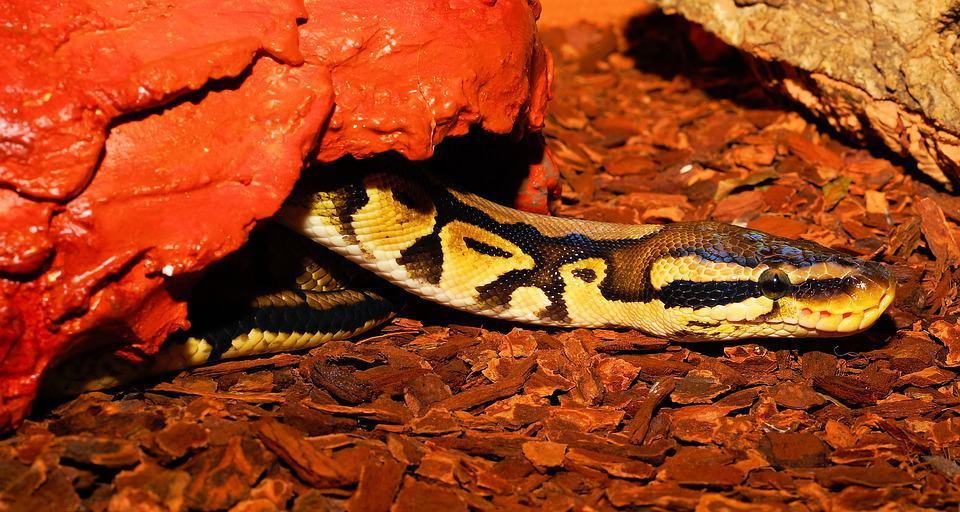ball python crawling