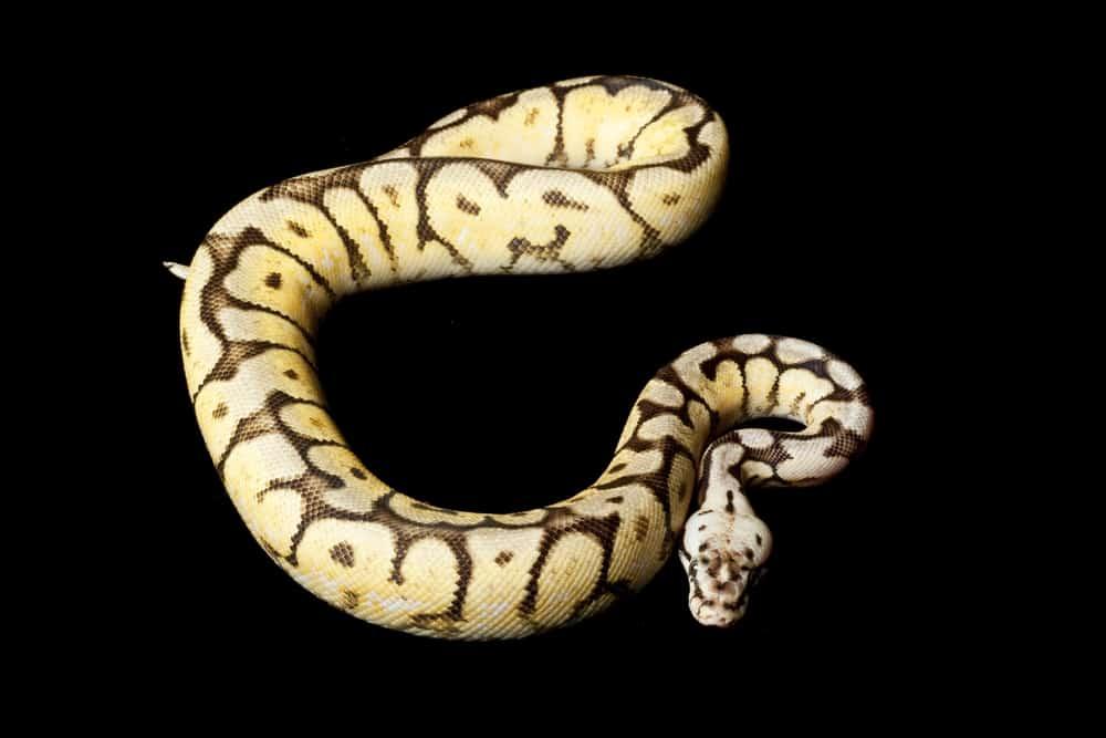 bumblebee ball python on black background