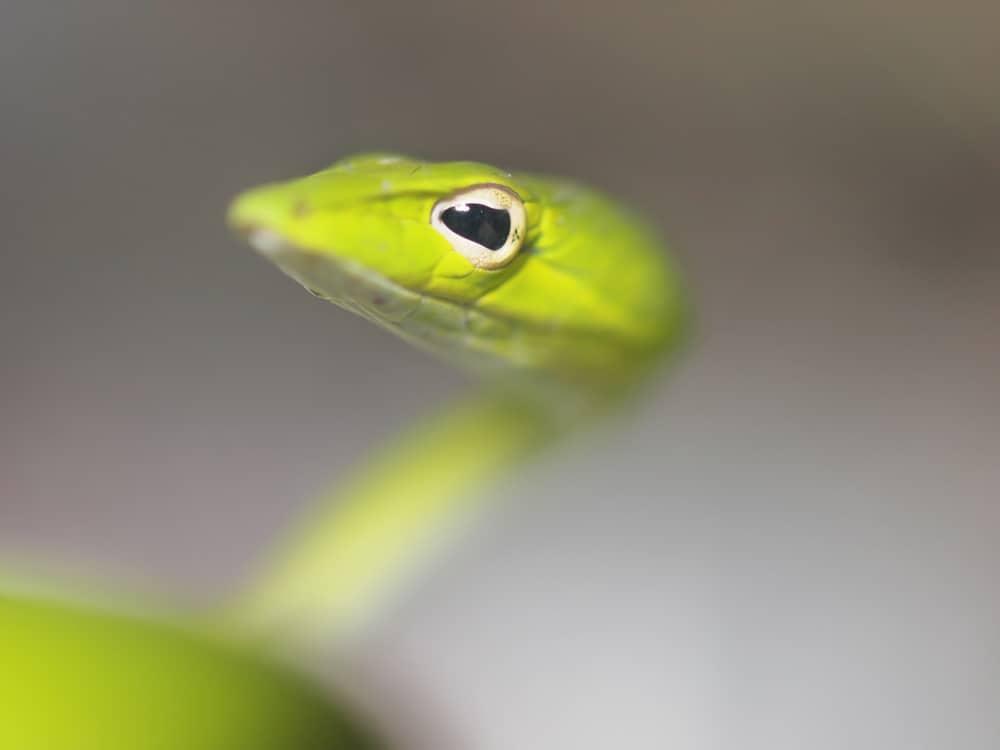 Eye of green vine snake