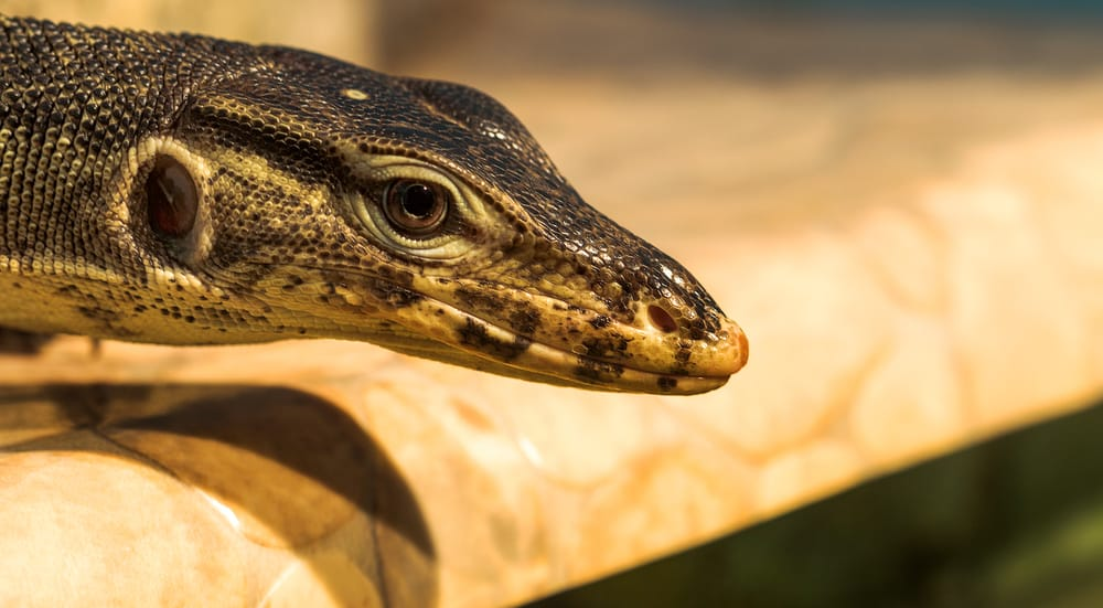 reptile with round pupils
