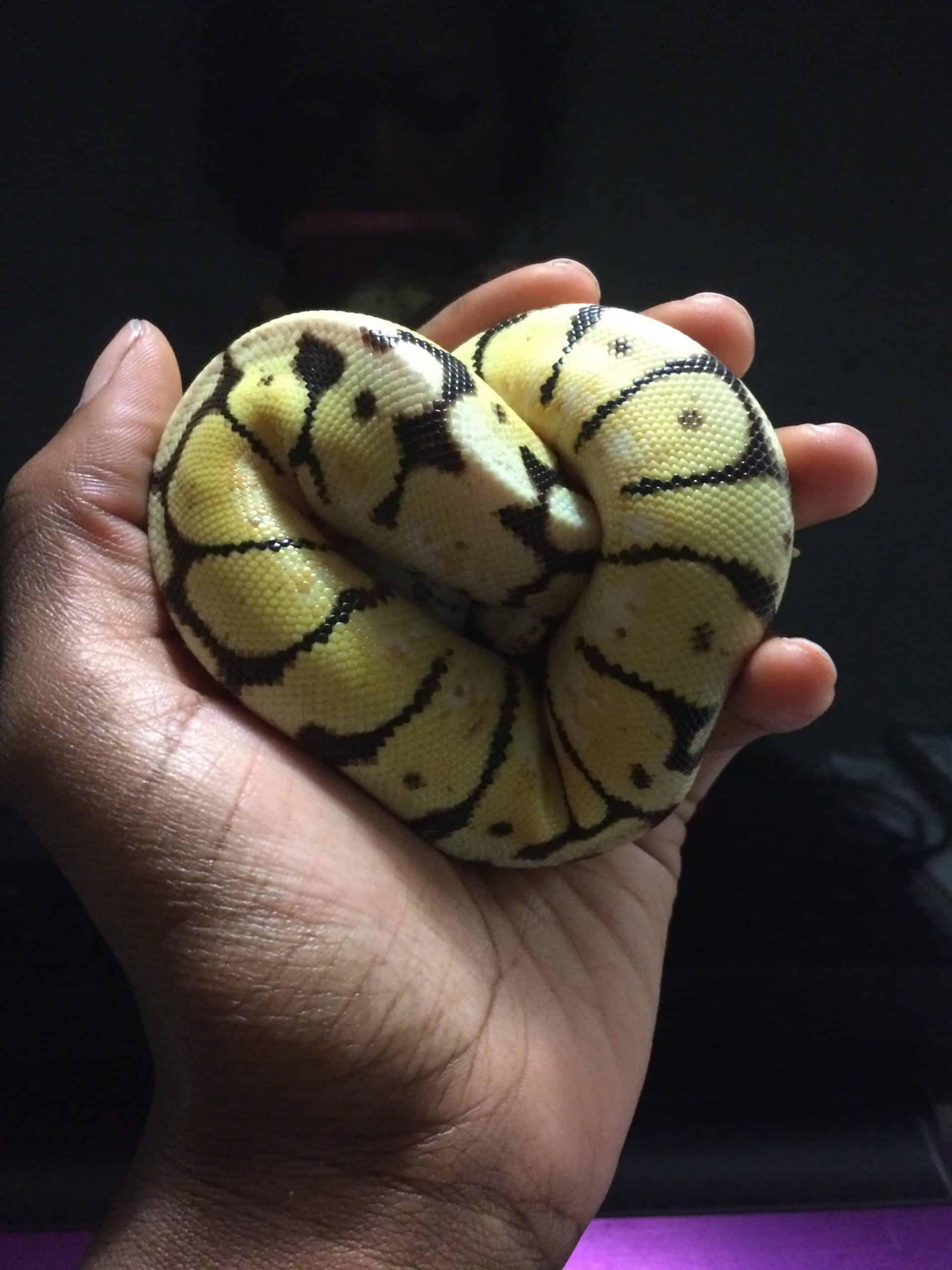 medium-sized snake bumblebee ball python