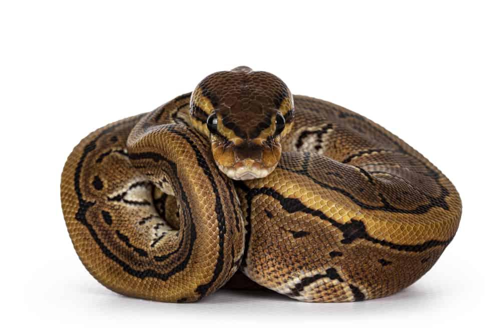 pinstripe ball python morph