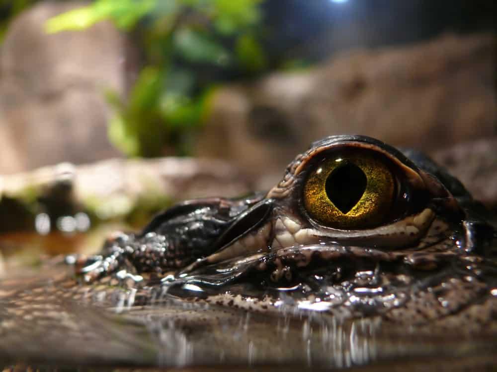 Closeup of a crocodile's big eyes