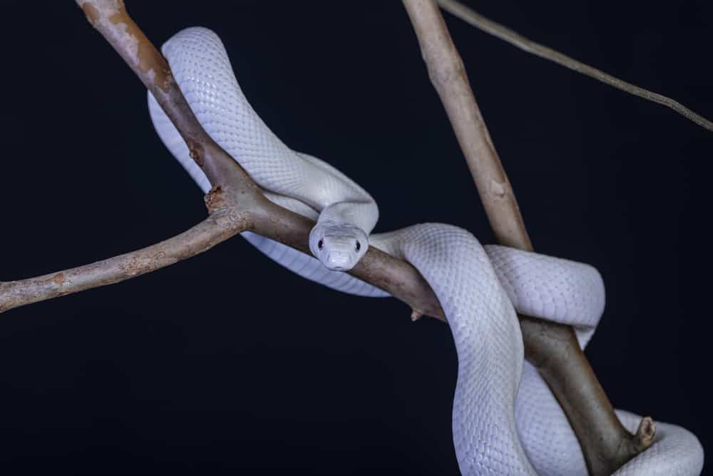 A Texas rat snake in a tree
