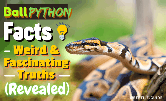 Ball Python Facts Weird & Fascinating Truths (Revealed) (1)