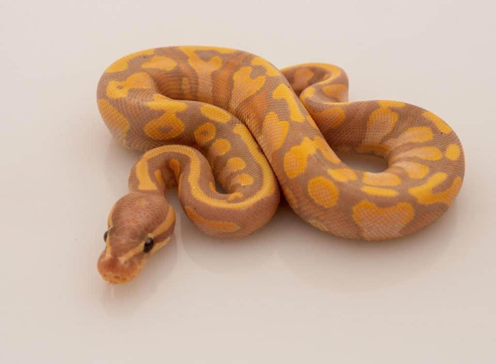Banana Orange Dream Ball Python on white background