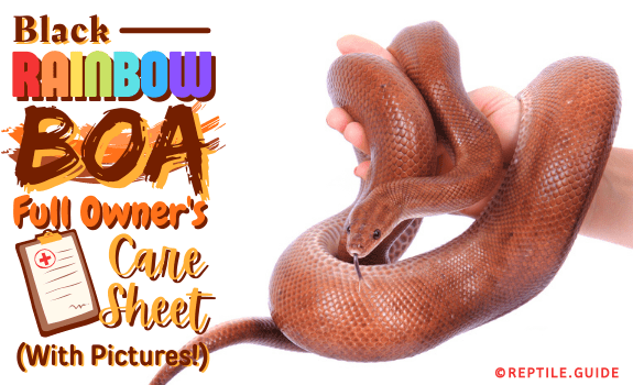 Black Rainbow Boa Full Owner's Care Guide (With Pictures!)