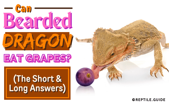 Can Bearded Dragons Eat Grapes (The Short & Long Answers)