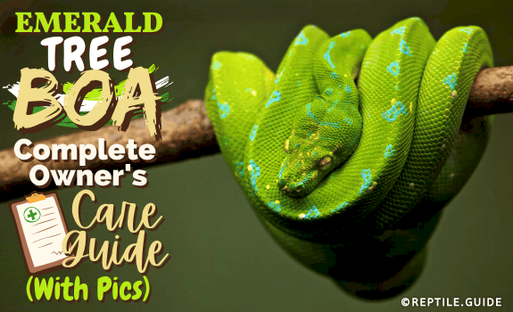 Emerald Tree Boa Complete Owner's Care Guide (With Pics)
