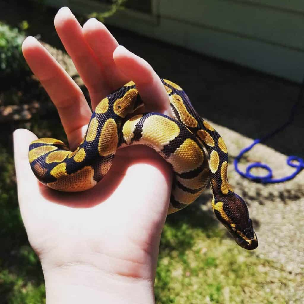 Orange Dream Ball Python