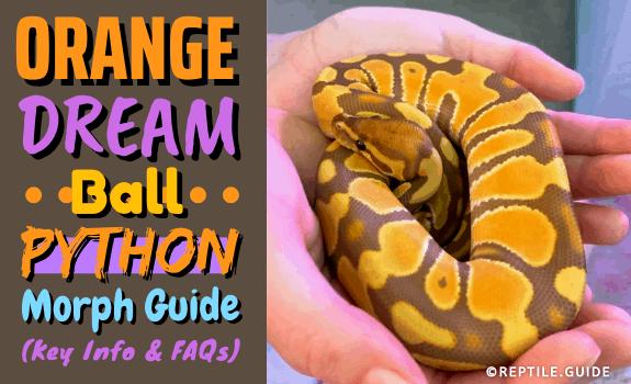 Orange Dream Ball Python Morph Guide (Key Info & FAQs) (2)