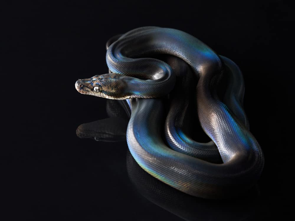 Rainbow Python on black background