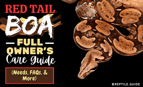 Red Tail Boa Full Owner's Care Guide (Needs, FAQs, & More)
