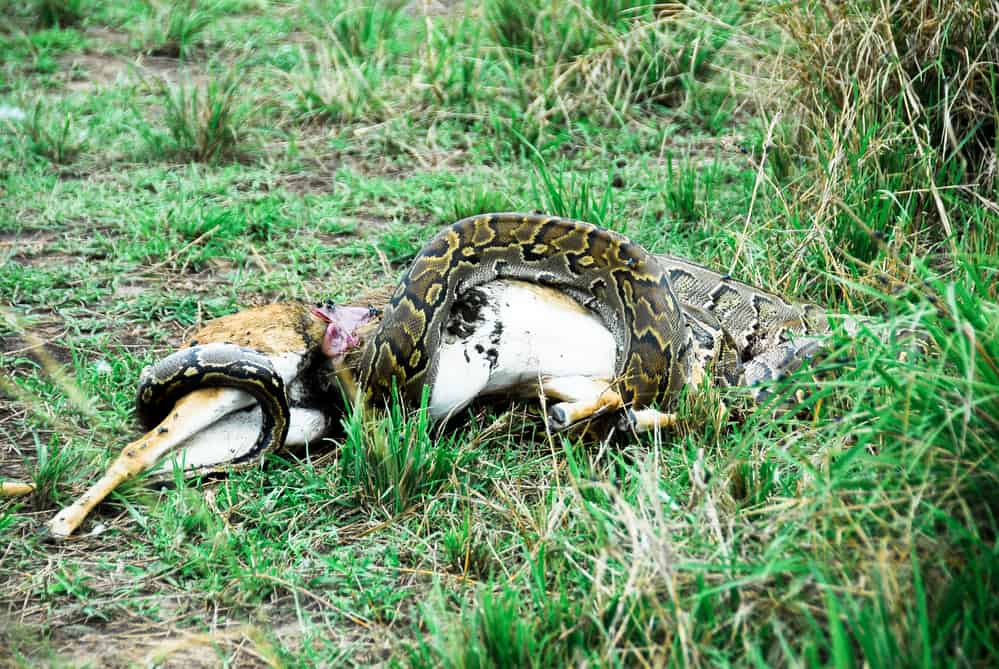 python swallowing larger animals