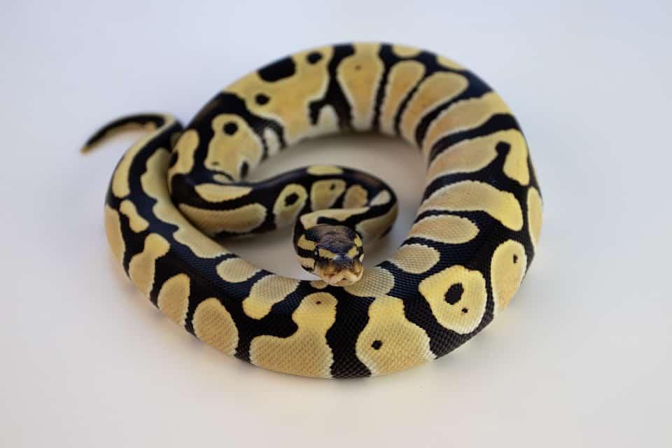 yellow and black colored ball python morphs